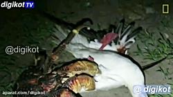 خرچنگ غول پیکر استوایی قاتل پرندگان