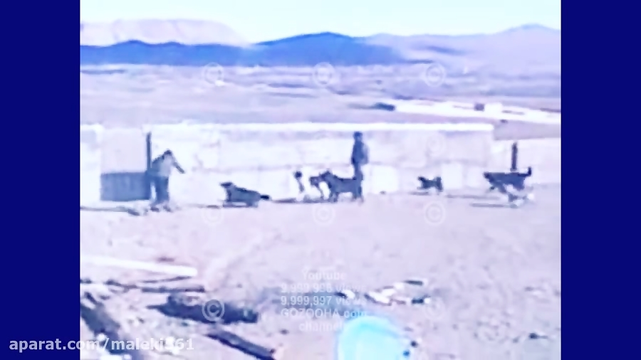 wild dogs iran خطرناکترین سگهای ایران