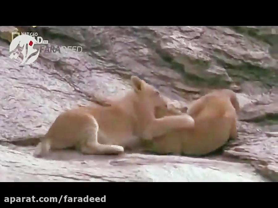 دفاع بی نتیجه ماده شیر از دو توله اش در برابر شیرهای نر