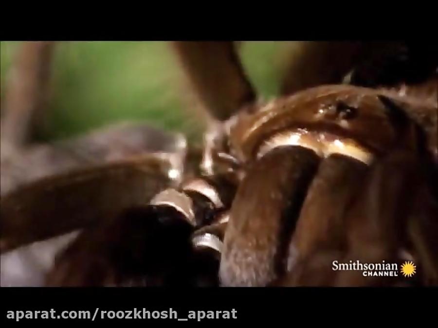 عنکبوت عظیم الجثه مارمولک را می کشد و می خورد