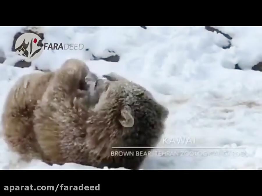 ذوق زدگی توله خرس ارم از برف