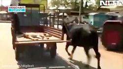 نگرانی جالب گاو مادر برای گوساله زخمی اش