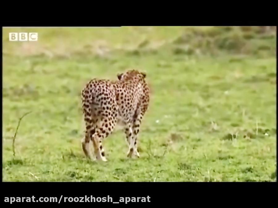 یوزپلنگ مادر مقابل شیر نر می ایستد/ دفاع از فرزندان