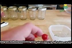 آموزش کاشت گوجه فرنگی در منزل به روش هیدروپونیک