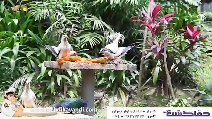 """هفت پرنده عجیب و غریب استوایی، """"شبه جزیره طلایی"""" قسمت14"""