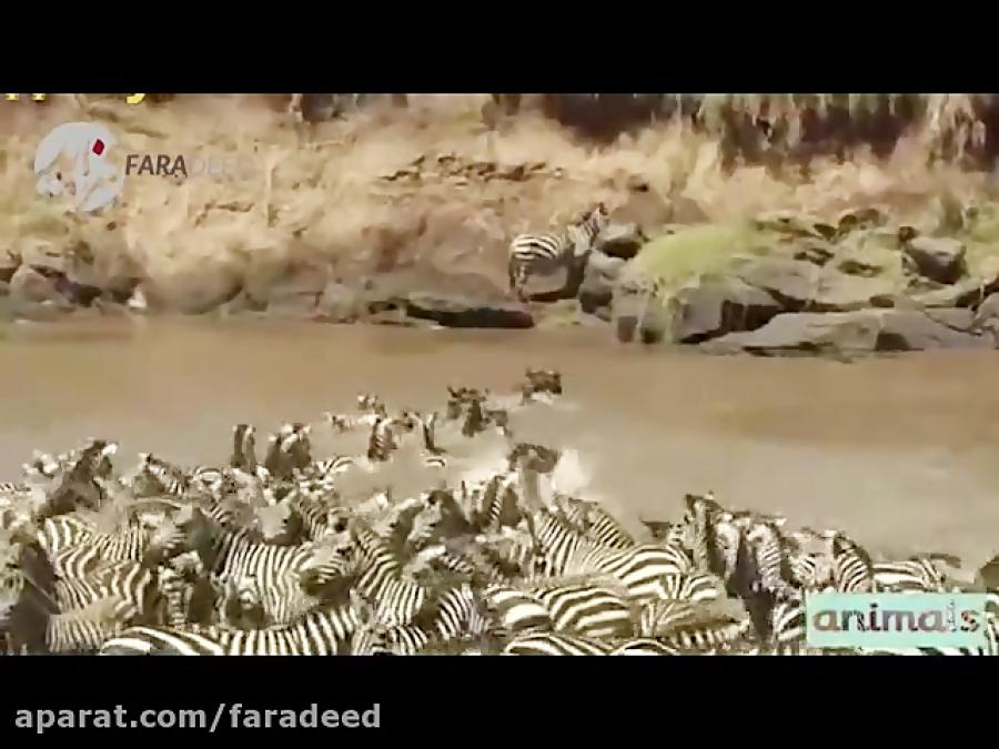 عبور خطرناک گورخر ها از رودخانه پر از کروکودیل
