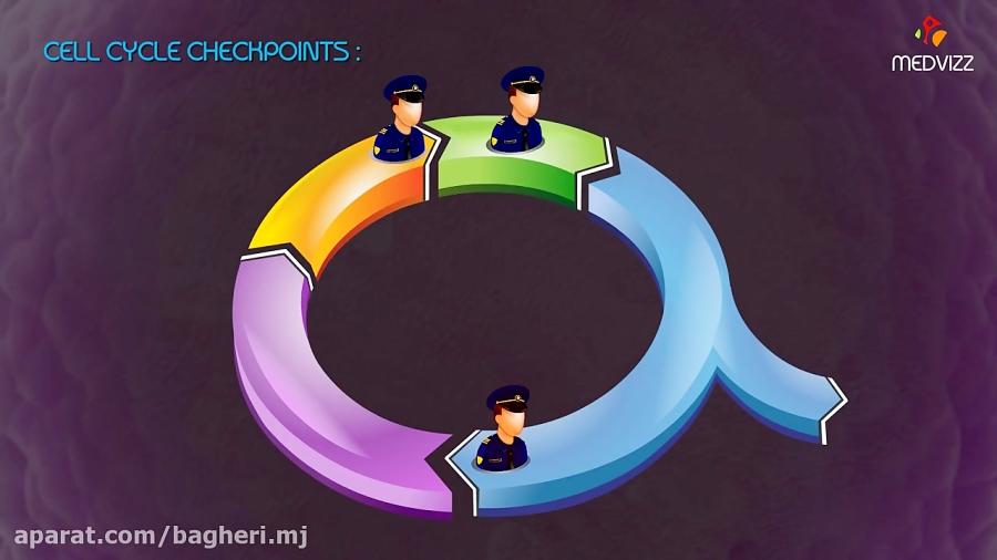 چرخه-سلولی-و-نقاط-وارسی