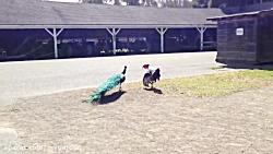 طاووس در مقابل بوقلمون