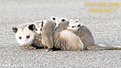 پنج تا از بدبوترین حیوا...