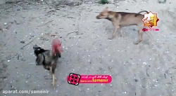 ترسیدن سگ از خروس لاری