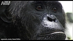 شامپانزه های آدم خوار