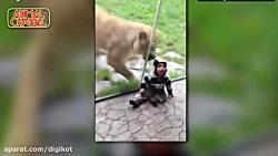 حمله حیوانات از پشت شیش...
