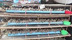 پرورش بلدرچین تخمگذار به روش اقتصادی