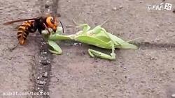 شکار بی رحمانه مانتیس توسط زنبور غولپیکر آسیایی
