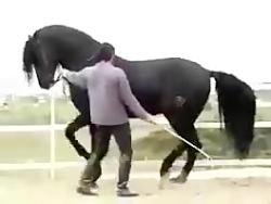 رقص زیبای اسب