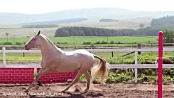 اسب ترکمن | آخال تکه