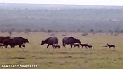 شکار بوفالو توسط سگهای وحشی آفریقایی