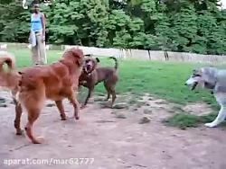 سگ گرگی و پیتبول