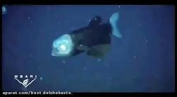 ماهی با سری شیشه ای و شفاف-240p