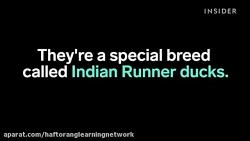 اردک های دونده هندی