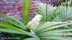 طوطی خوشگل اواز خوان بر روی برگ سبز