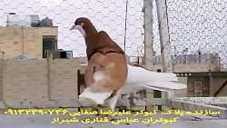 کبوتران امری
