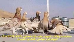 کبوتر سور هفت رنگ