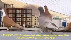 کبوتر امری