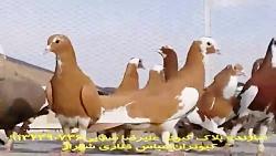 کبوتران پلنگ