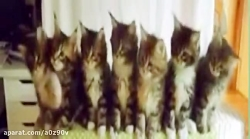 رقص گربه ها ( طنز )
