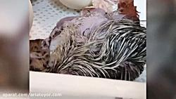 تبدیل تخم شترمرغ به جوجه