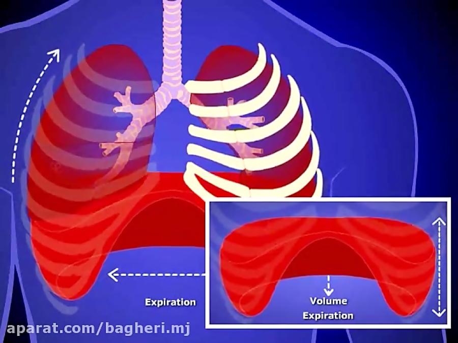 وضعیت-دنده-ها-و-دیافراگم-در-تنفس