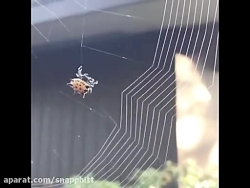 لحظه تنیدن تار توسط عنکبوت