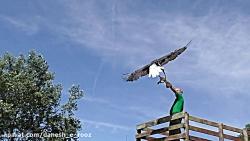 پرواز   عقاب سرسفید