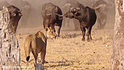 صف آرایی گاومیش های وحشی در مقابل شیرها