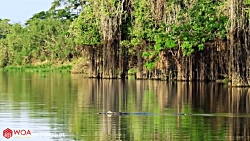 حمله تمساح به سمور آبی و حمله پلنگ فرصت طلب به تمساح