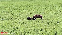 حمله کفتارها به گوساله گاومیش تنها