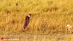 آموزش شکار به توله چیتا