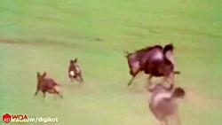 از خود گذشتگی گاو وحشی مادر برای حفاظت از گوساله اش