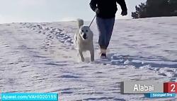 قوی ترین و بزرگ ترین سگ های دنیا
