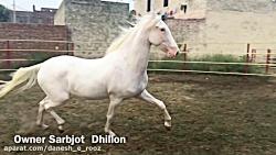 اسب مارواری   هندی   ملکه فیلی   Filly Queen