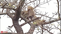 Amazing Lions Vs Leopard Fight On The Tree For Food   Best Unexpected Raids And Battles