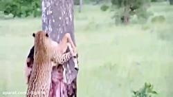 Leopard Hunting Impala   Leopard Jumps From Tall Tree To Ambush Prey .
