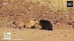 درگیری خرس و ببر