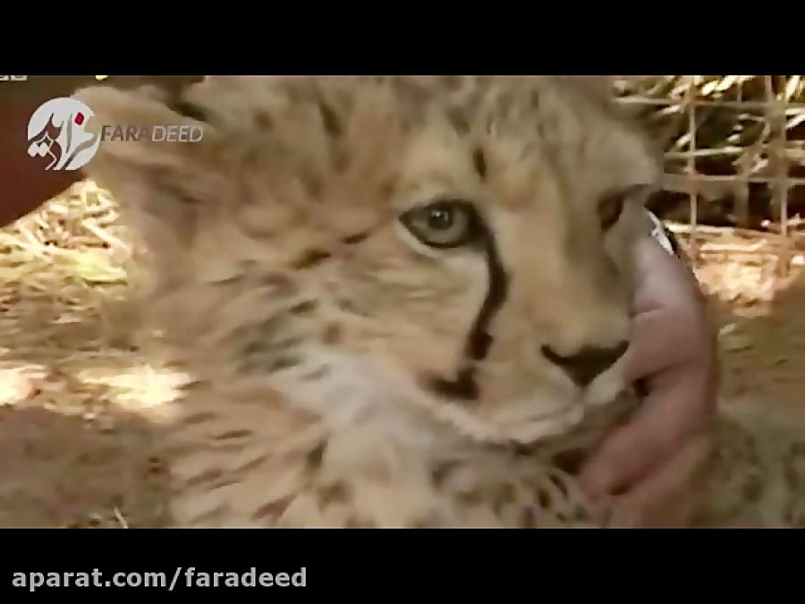 حمله مرگبار گراز وحشی به توله چیتا