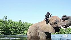 مجموعه ای از دوستی های باور نکردنی بین حیوانات مختلف