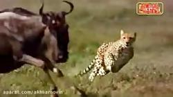 شکار حیوانات توسط شیر و...