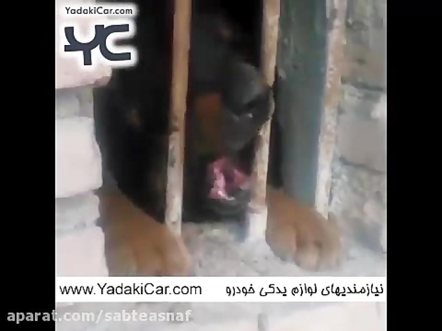 سگ وحشی ادم خوار در نظراباد به دام افتاد