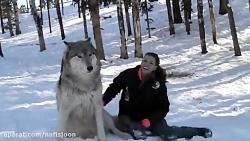 گرگ هم به حیوانات خانگی...