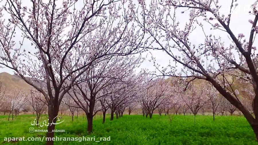 شکوفه های بهاری 97